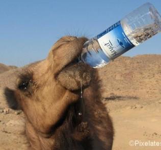 camel drinking water bottle
